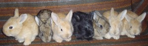 3 week old angora rabbits in torte, chestnut, and black