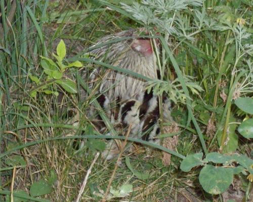 Hen with chicks closeup
