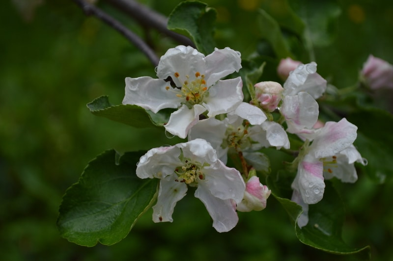 apple blossoms2