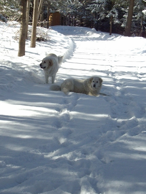 winter dogs