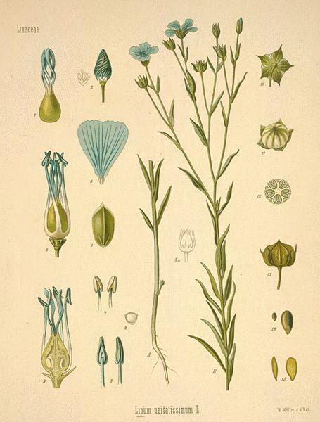 flax flowers print