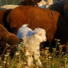 Feeding livestock with GMO-free ingredients for healthy homestead critters.