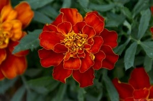 marigold cc Jim Mead flickr stream