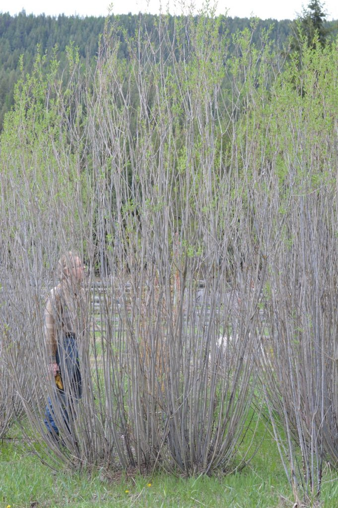 Willow trees relative size