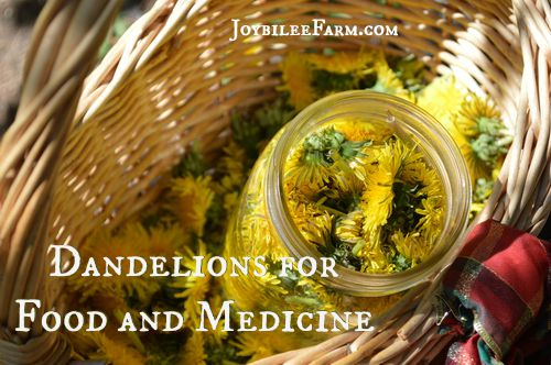Dandelions for food and medicine -- Joybilee Farm