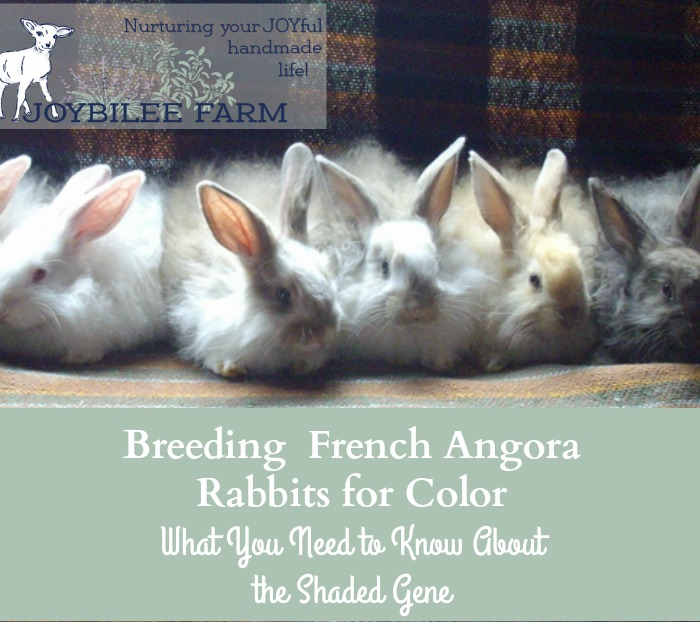 Understanding Angora rabbit genetics so you can breed for the colours you want,...The Shaded gene
