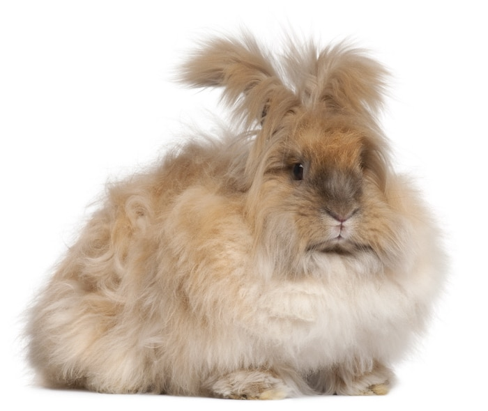 Care and feeding of angora rabbits