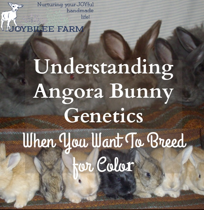 Here's what you need to know to keep your angora colours strong in your litters, while still breeding for the choicest colours in your French Angora rabbits.