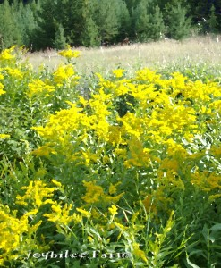Golden rod is a wild flower of waste places, pastures, and disturbed land.