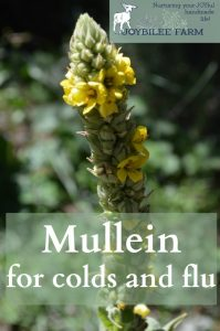 Mullein for colds and flu