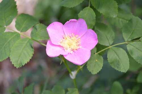 Wild rose close up