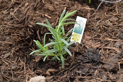 Rosemary start
