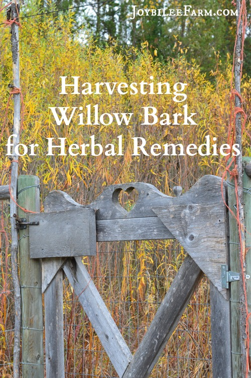 Harvesting Willow Bark for herbal remedies | Joybilee® Farm