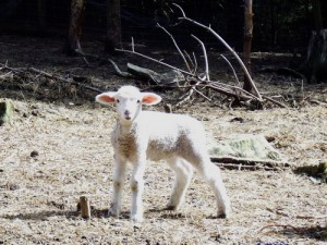 "How losing a lamb to bad air in the barn taught me how to get rid of ""Stinkin' Thinkin'"""