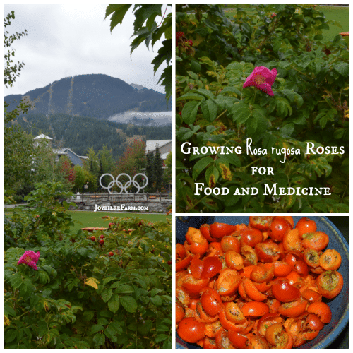 Rosa rugosa for food and medicine
