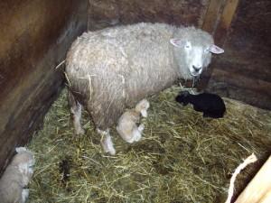 Triplet lambs
