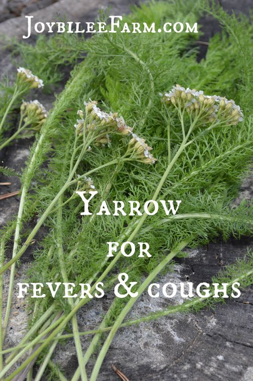 Yarrow for fevers and coughs -- Joybilee Farm