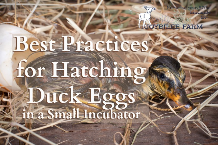 Hatching ducklings at home isn't rocket science, but a little science helps to guarantee your success.