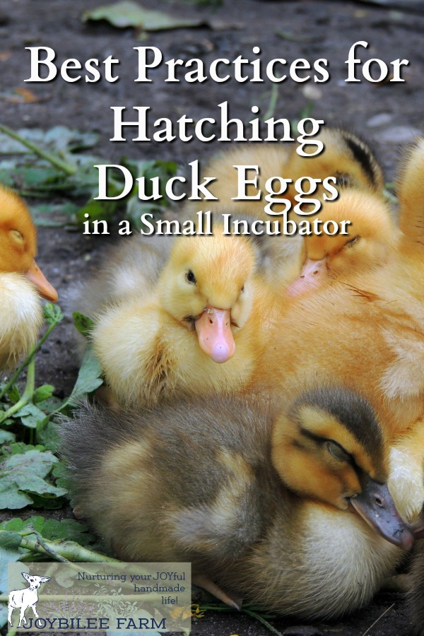 What is the incubation period for duck eggs?