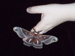 California silk moth