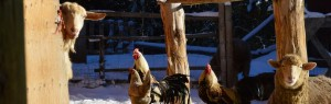 chickens in winter wp cycle