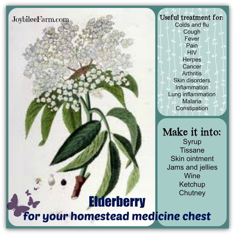 Elderberry for your homestead medicine chest