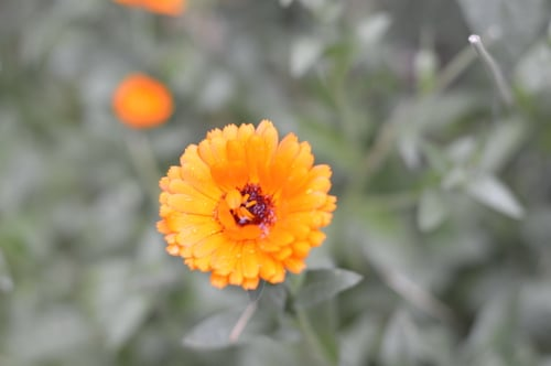 calendula in the rain 2