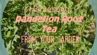 Dandelion root tea 1