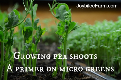 Growing pea shoots indoors in winter – A primer on micro greens -- Joybilee Farm