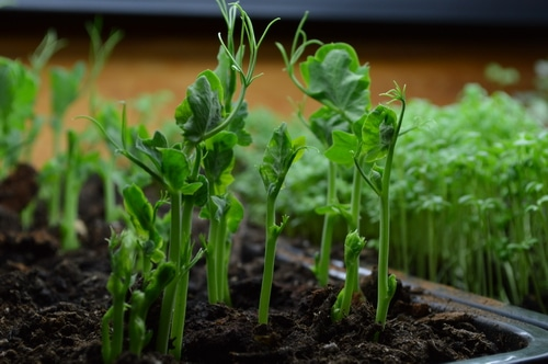 growing pea shoot and micro greens