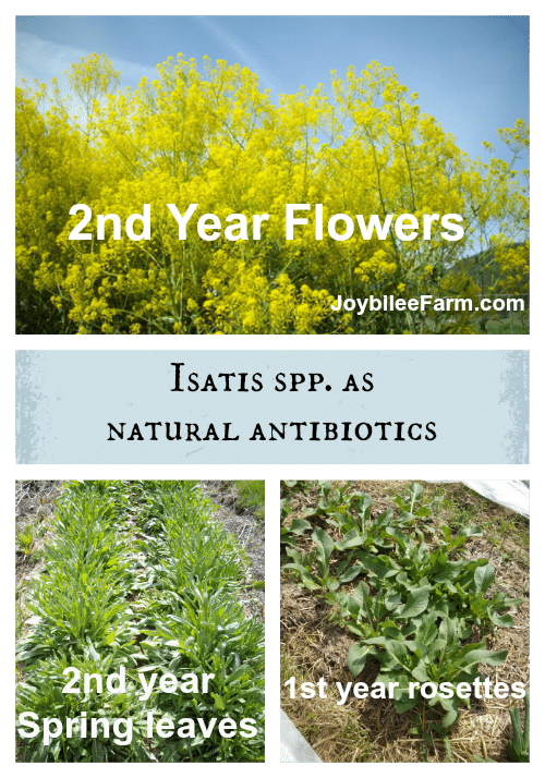 Isatis spp. as natural antibiotics -- Joybilee Farm