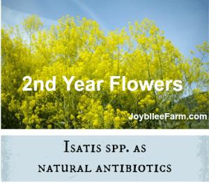 Woad as natural antibiotics