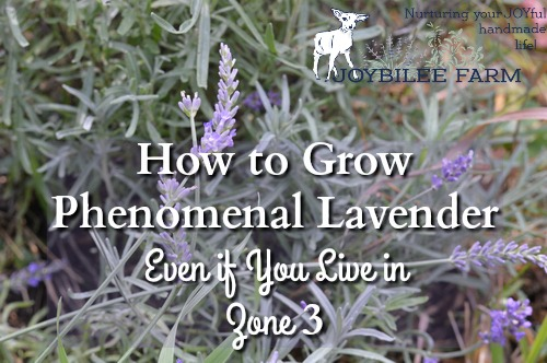 How to Grow Phenomenal Lavender Even if You Live in Zone 3