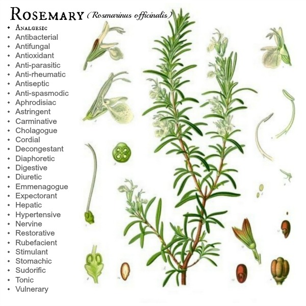 Rosemary Botanical study