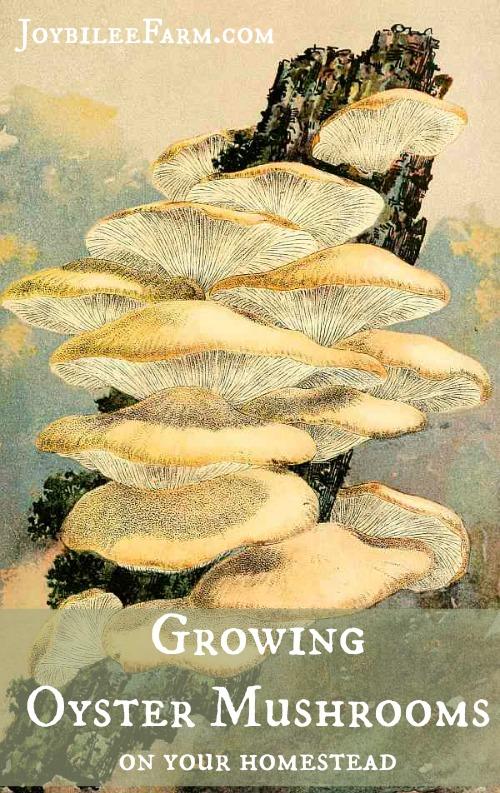 Growing oyster mushrooms -- JoybileeFarm