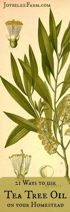 21 ways to use Tea Tree Oil -- Joybilee Farm