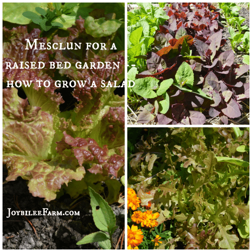 Mesclun for a Raised Bed Garden: How to grow a salad -- Joybilee Farm