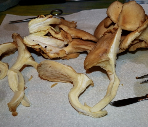 How to grow shrooms -- Joybilee Farm