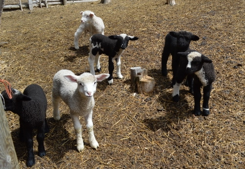 Helping with birth complications in sheep and goats -- Joybilee Farm