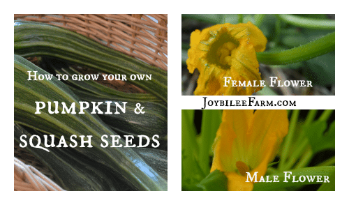 How to grow your own pumpkin seeds and squash seeds -- Joybilee Farm