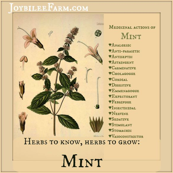 Herbs to know, herbs to grow: Mint