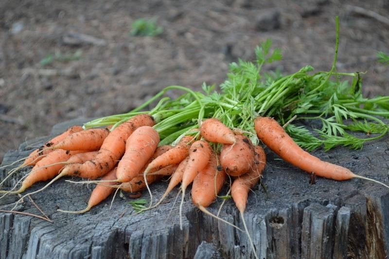 carrot harvest 2