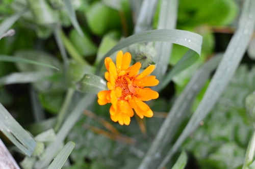 calendula in the rain
