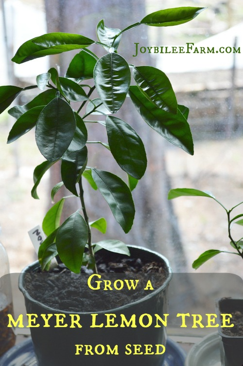 Grow a meyer lemon tree