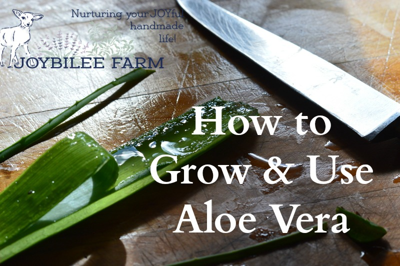 How to Grow and Use Aloe Vera | Joybilee Farm