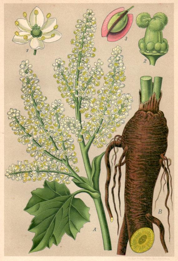 Turkey Rhubarb 1901 print