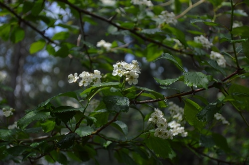 Hawthorn in flower 2