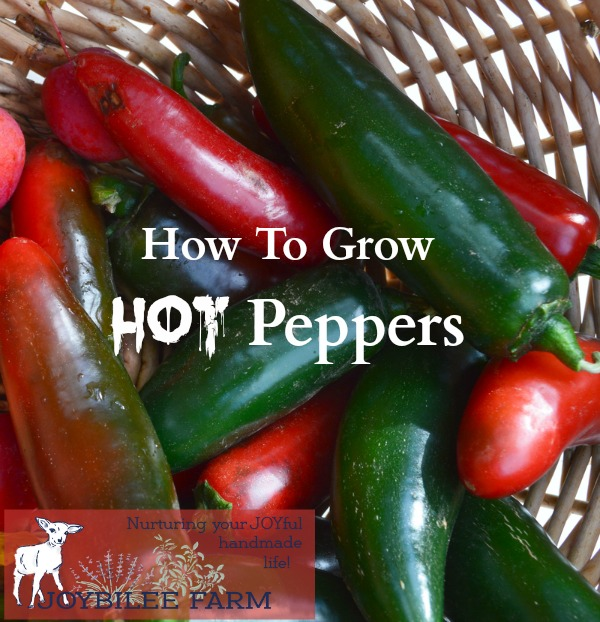 Hot peppers, from the Capsicum family, are the International Herb of the year for 2016. Hot peppers come in a large range of shapes, colors, and spiciness. From mild to the hottest ghost pepper, there are peppers for every purpose.