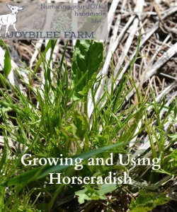 Growing and Using Horseradish