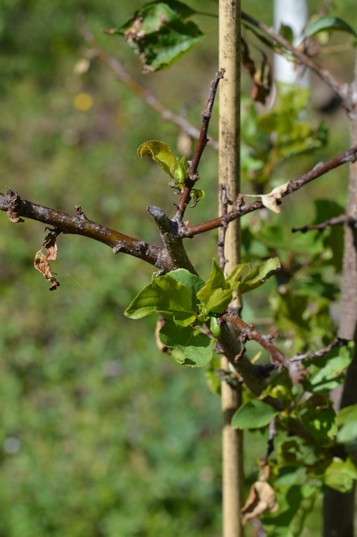 apricot tree recoverying after spray